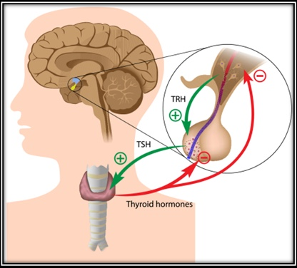 3-Image-TRH and TSH- Definition-Patient-Hypothyroidism